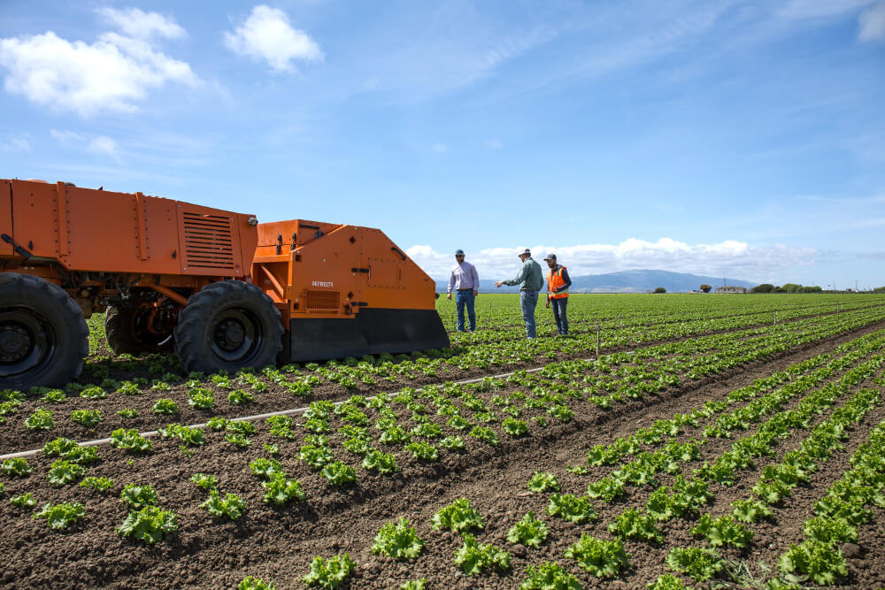 Robot weeding lettuce fields with employees looking
